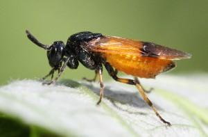 Arge cyanocrocea