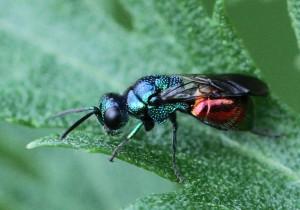 Pseudomalus auratus