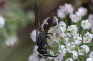 Symmorphus bifasciatus