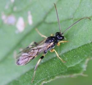 Tryphoninae ubest.