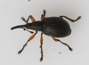 Apion trifolii