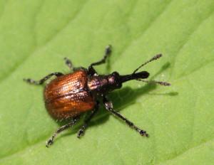 Neocoenorrhinus aequatus