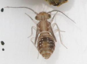 Ectopsocus sp. (nymfe)
