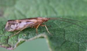 Limnephilus lunatus