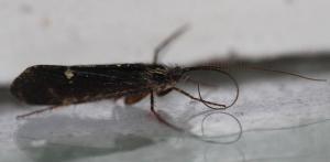 Limnephilus sparsus