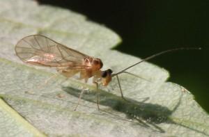 Stenopsocus immaculatus
