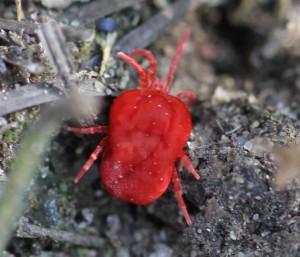 Rød jordmide