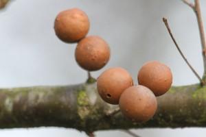 Marmorkugle-galhveps (eg)