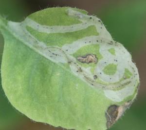 Aulagromyza hendeliana (kaprifolie)
