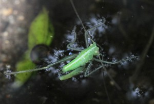 Egegræshoppe