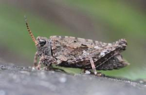 Almindelig torngræshoppe