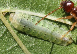 Platycampus luridiventris