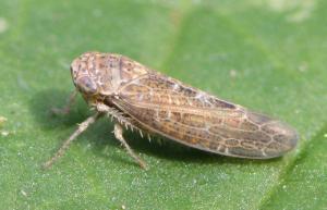 Allygus modestus