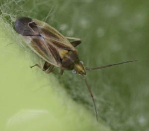 Amblytylus nasutus