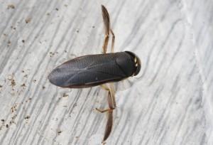 Hesperocorixa sahlbergi