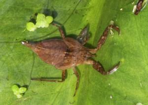 Skorpiontæge