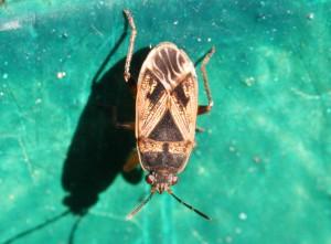 Trapezonotus sp.