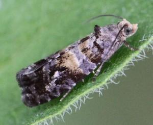 Cymolomia hartigiana