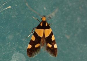 Eratophyes amasiella