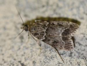 Eudonia sp./Scoparia sp.