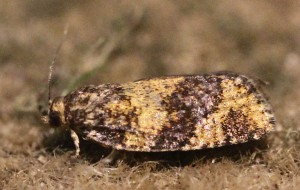 Ptycholomoides aeriferana
