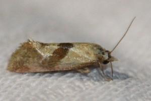 Cochylidia implicitana