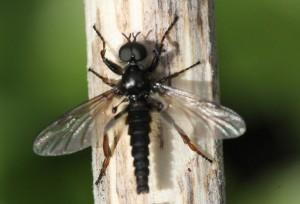 Bibio lanigerus