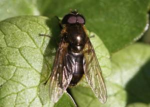 Grøn urtesvirreflue