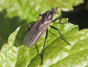 Rhamphomyia sp.