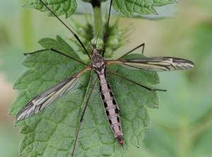 Tipula vittata