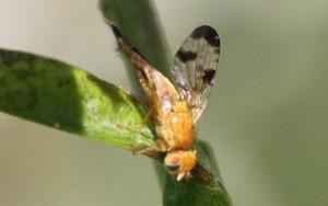 Xyphosia miliaria