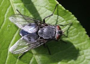 Calliphora vicina