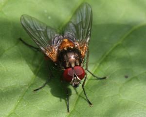Mydaea corni
