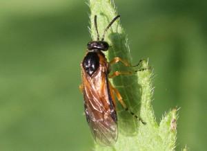 Athalia circularis