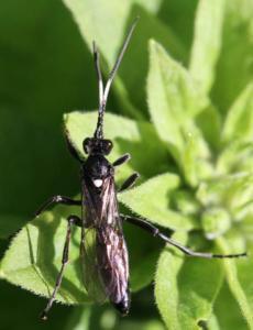 Ctenichneumon funereus