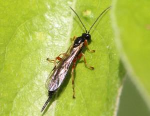 Endromopoda sp.