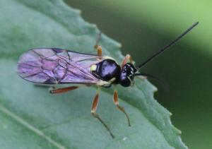 Ichneumonidae ubest.