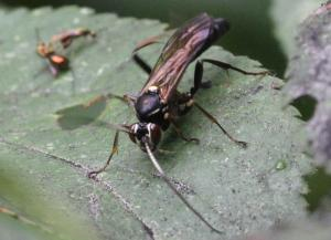 Ichneumoninae ubest.