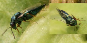 Pteromalidae ubest.