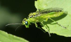 Grøn bladhveps