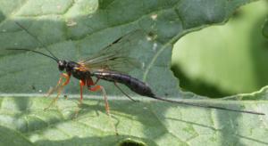 Rhyssella approximator