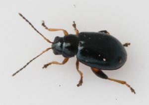 Aphthona nonstriata