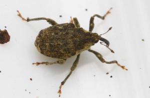 Ceutorhynchus pollinarius