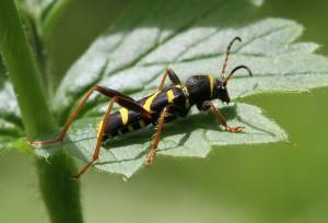 Lille hvepsebuk