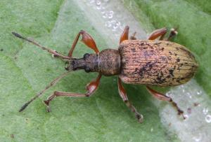 Phyllobius calcaratus
