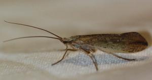 Grammotaulius nigropunctatus