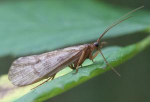 Halesus radiatus