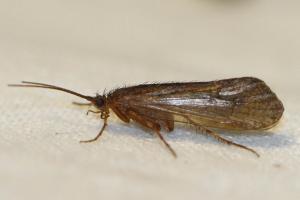 Limnephilus extricatus