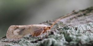 Limnephilus flavicornis