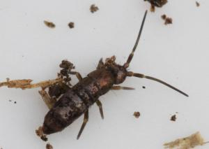 Tomocerus sp.